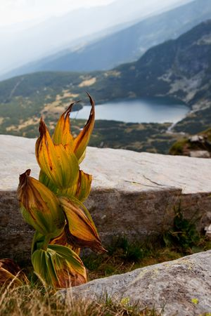 Dry leaves of Yellow Gentian in the Rila mountains, Bulgaria, a lake on the background photo