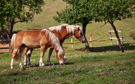 two brown horses grazing grass in an enclosure photo
