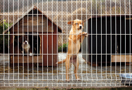 Lonly abandoned puppy leaning on a fence of a enclosure in a dog shelter. Looking sad. Standard-Bild