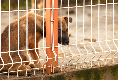 Lonly and sad abandoned puppy behind fence of a enclosure in a dog shelter. Looking scared.