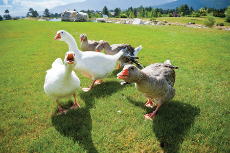 A pack of angry geese on a green grass loan attacking on camera. Lake and mountains on the back. Stock Photo