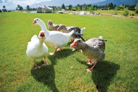bandada pajaros: Un paquete de gansos de ira en un ataque de préstamo hierba verde en la cámara. Lago y las montañas en la parte posterior. Foto de archivo