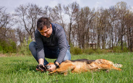 A man is playing with his dog- a german shepherd, checking its teeth on a green lawn in spring time.