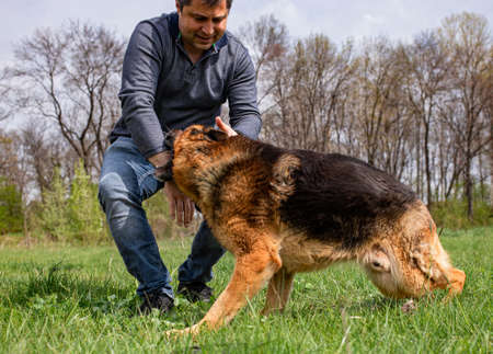 An adult male is being attacked by a German Shepherd as part of a play on a green grass lawn during spring time. Standard-Bild