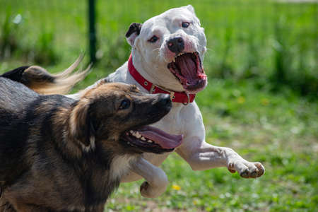 Two dogs are fighting in their play, white pitbull terrier is aiming to bite a brown dog outdoors.