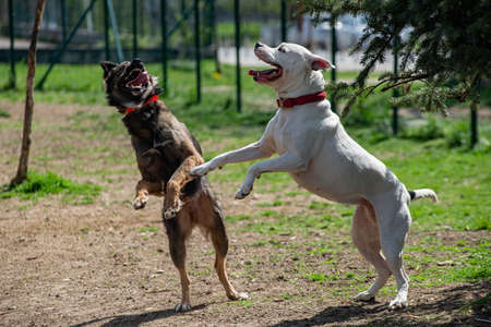Two dogs on their back feet playing for domination, one is white Pitbull terrier, other is a brown half breed. Standard-Bild