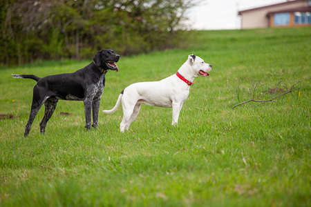 Two dogs - a white female pitbull terrier and black German shorthaired pointer are standing on a green grass lawn outdoors in spring time. Standard-Bild