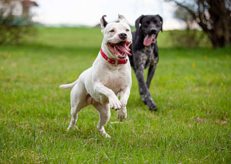 Two dogs running on a spring green grass lawn. White female pitbull terrier with sticking out tongue in the foreground.