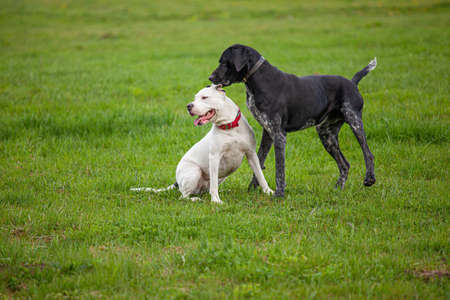 Two dogs on a green grass lawn in spring or summer time. A black male German shorthaired pointer is whispering in the ear of a white female Pitbull Terrier with red collar.