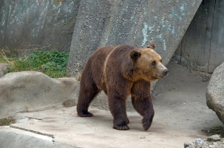European brown bear in Sofia zoo, Bulgaria