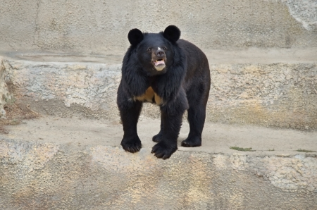 Himalayan bear in Sofia zoo, Bulgaria