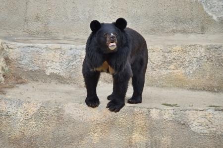 Himalayan bear in Sofia zoo, Bulgaria Stock Photo - 16138193