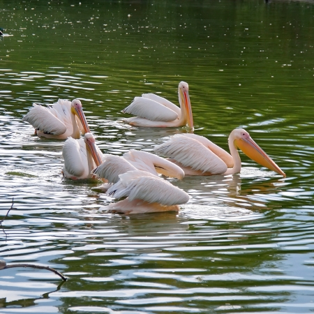 Group of pelican in Sofia zoopark, Bulgaria Stock Photo