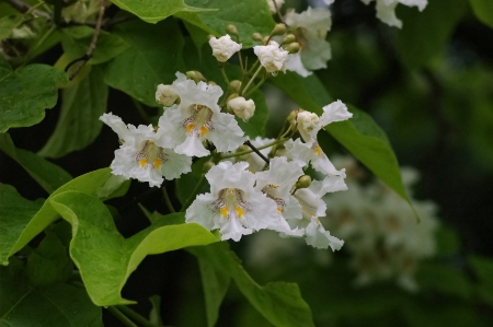 catalpa: Close up of Indian Bean Tree flowers (Catalpa bignonioides)