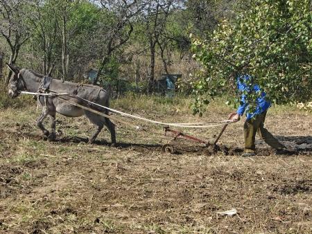 Donkey work hard in the garden photo