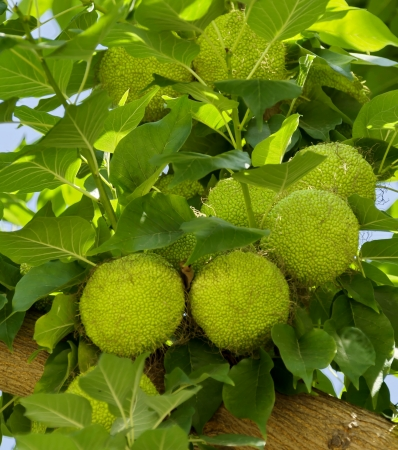 Maclura Ayrantiaca tree with green fruits in botanic garden Stock Photo