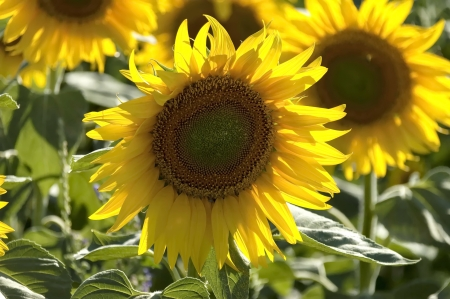 Blooming sunflower in summer field - close up Stock Photo