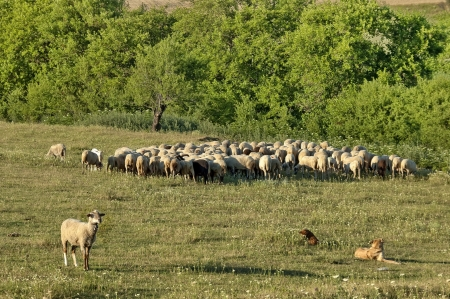 Sheeps flock in ludogorie summer field, Bulgaria