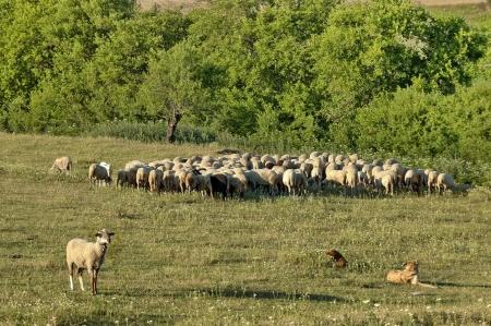 Sheeps flock in ludogorie summer field, Bulgaria