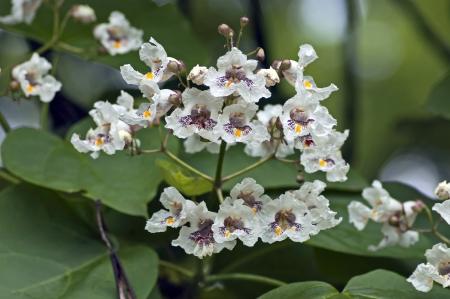 catalpa: Close up of Indian Bean Tree flowers  Catalpa bignonioides