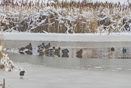 Ducks at small pond in winter, South Park