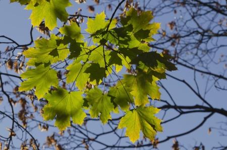 sicomoro: Iluminado por el sol follaje oto�al de oro de sic�moro Platanus occidentalis