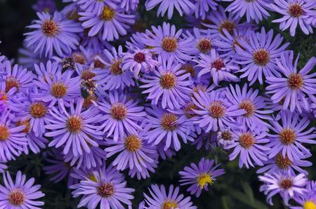 astra: Astra autumn background blossom blue camomile petal purple