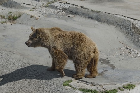 turn about: Brown bear out a turn about the lair in zoo Sofia, Bulgaria