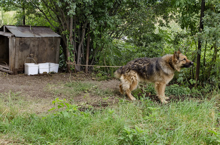 guard house: Thoroughbred dog on the nature guard country house in Lulin mountain, Bulgaria
