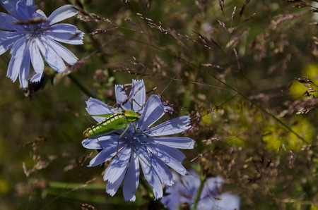 clinging: A close up view of a large green grasshopper clinging on the flower Stock Photo