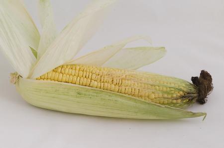 zea mays: Maize  (Zea mays) cob detail between green leaves