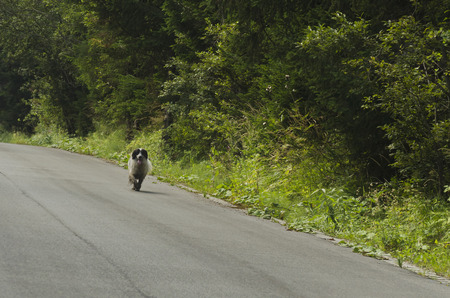 A lost thoroughbred dog on the nature to seek way for home, Vitosha mountain, Bulgaria.