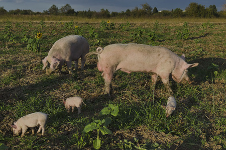 Biological sow, boar and her piglets eat the fresh grass in a meadow. photo