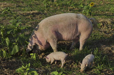 Biological sow and her piglets eat the fresh grass in a meadow. photo