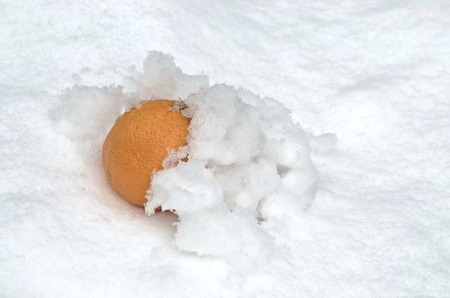 refrigerate: Orange fruit refrigerate in the snow-drift at garden, Sofia, Bulgaria