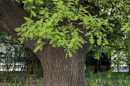 leafy: Leafy oak tree with new  green sprout