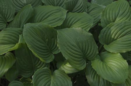 hosta: Beauty background of hosta undulata, perennial flower, Bulgaria