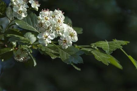 crata�gus: Hawthorn o Crataegus monogyna rama con flores de p�talos blancos y estambres rosa Foto de archivo