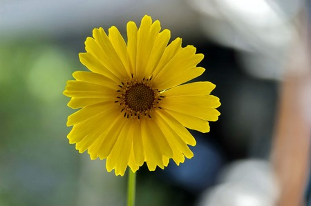 nana: Closeup of yellow Tickseed or Coreopsis auriculata Nana  flower Stock Photo