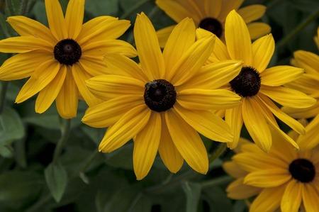 hirta: Summer flowers blackeyed susans rudbeckia hirta