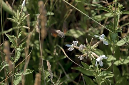 nectar: A hummingbird or Trochilidae flies  towards  white flower for nectar