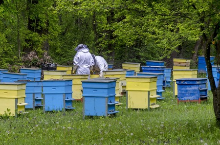 Two bee-masters  in veil at apiary work among hives, Zavet, Bulgaria