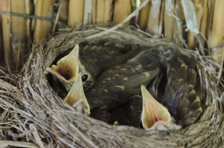 hunger: Hunger newly fledged songbird  wait  food a birds nest in the penthouse at apiary, Zavet, Bulgaria Stock Photo