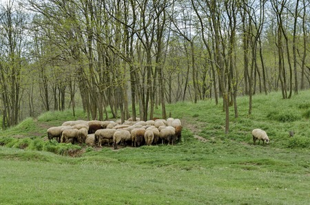 flock of sheep: Background of sky, clouds, field, acacia forest and  flock sheep, Ludogorie, Bulgaria Stock Photo