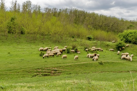 flock of sheep: Background of sky, clouds, field, acacia forest and  flock sheep, Ludogorie, Bulgaria 写真素材