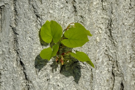 Background of new sprout twig over Linden Tree lime tree bark, Ludogorie, Bulgaria