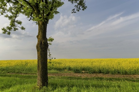 ablooming: Green tree in the yellow colza field with blue sky, wonderful intense colors, Ludogorie, Bulgaria