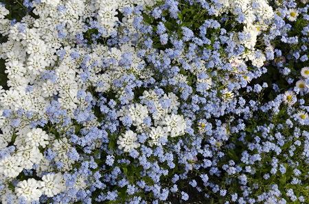 fidelidad: Fondo del azul nomeolvides Alyosotis palustris y Iberis Iberis sempervirens jardín de flores, Bulgaria Foto de archivo