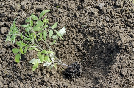 dibble: Organic farming of tomato in green house. Seedlings put in the hole, Bulgaria Stock Photo