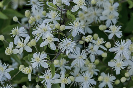 Plain clematis Clematis vitalba, Old Mans Beard or Travelers Joy, bushy plant blossom Фото со стока